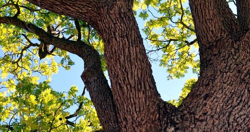 Arrelats: arbres uniques et monumentaux
