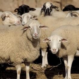 Fira de Santa Teresa i Fira Catalana de l'ovella a Ripoll