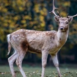 Disfruta de la berrea del ciervo en MónNatura Pirineos