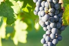 Visita guiada a la vinya El Baluard a Sant Celoni