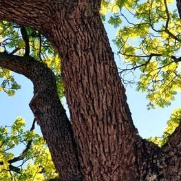 Arrelats: unique and monumental trees