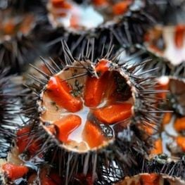 The sea urchin route, a treat for the palate